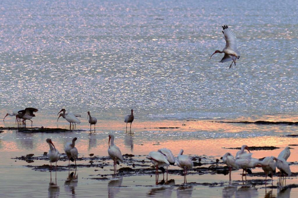 Captiva Island Inn Birds on Beach